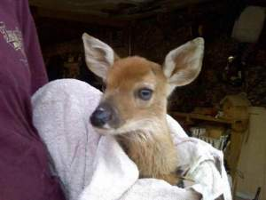 Bureaucrats wanted to kill this baby deer